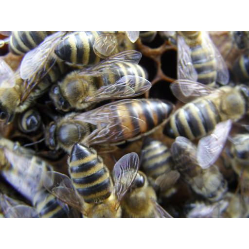 Nucleus Of Bees on National Frames