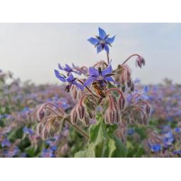 Borage and bee.jpg